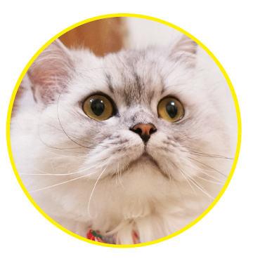 使用極淨潔耳液的貓咪:新北市Miao