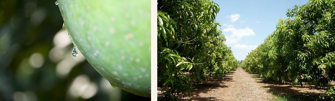 芒果布丁,游游農產,夏雪芒果,鮮果布丁,芒果,水果布丁