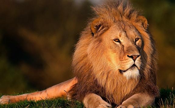 肯亞,非洲,獅子