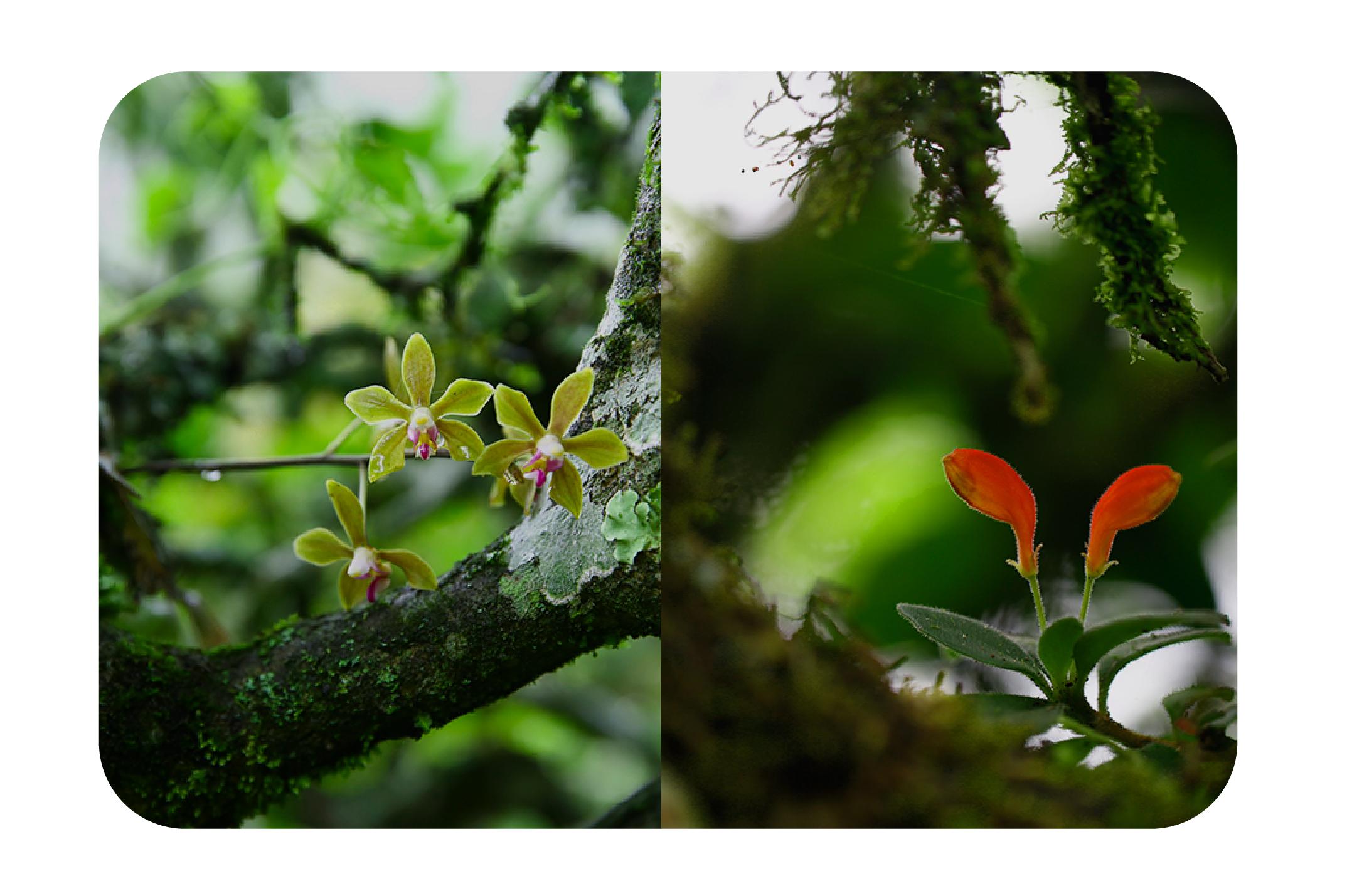 古樹茶野生大樹種生長環境