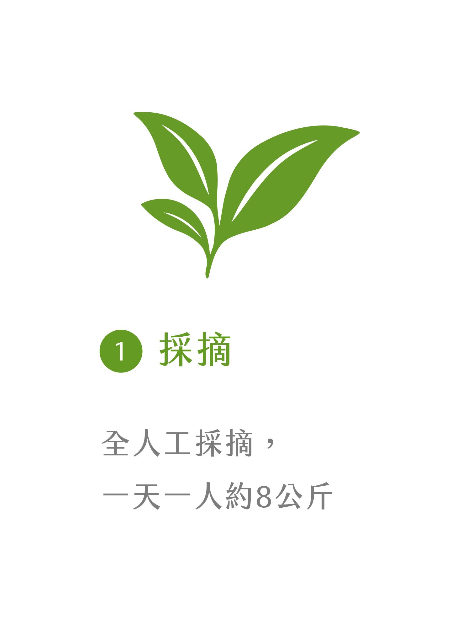 晁鎮茶苑古樹茶雨林製作流程仔採摘