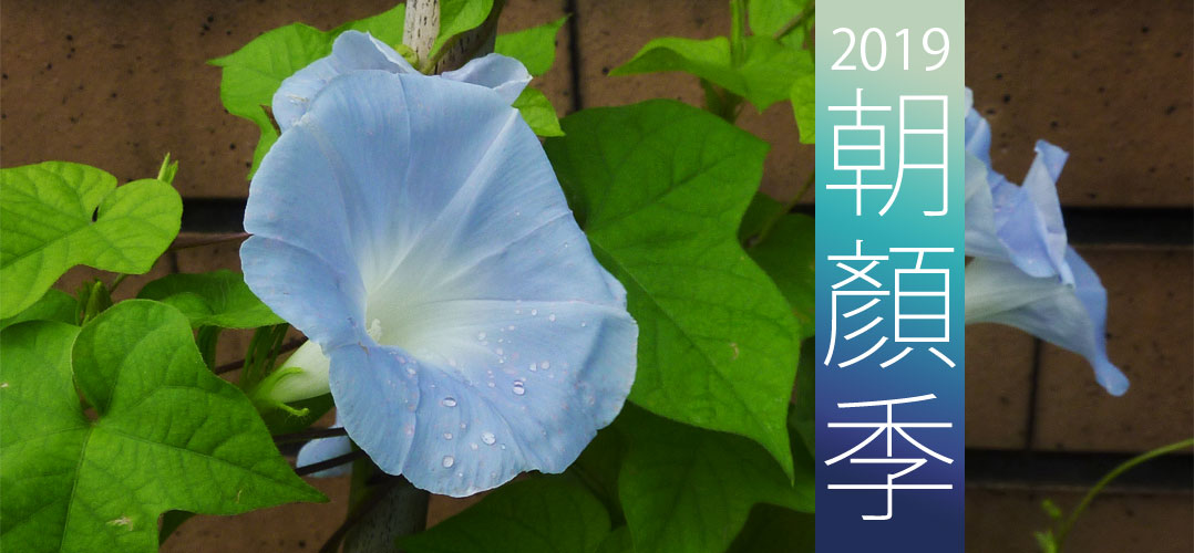2019朝顏季 | iGarden花寶愛花園