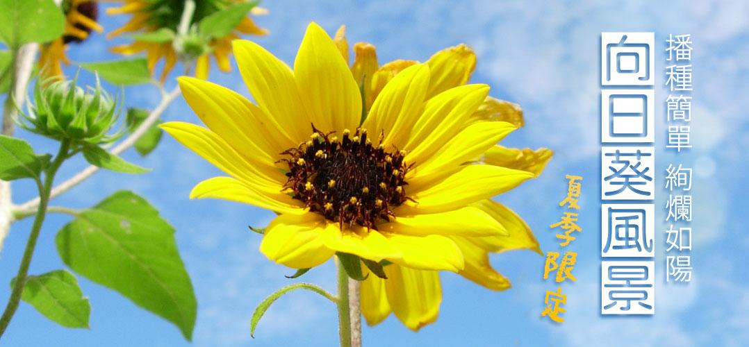 夏季限定、播種簡單、絢爛如陽的向日葵風景 | iGarden花寶愛花園