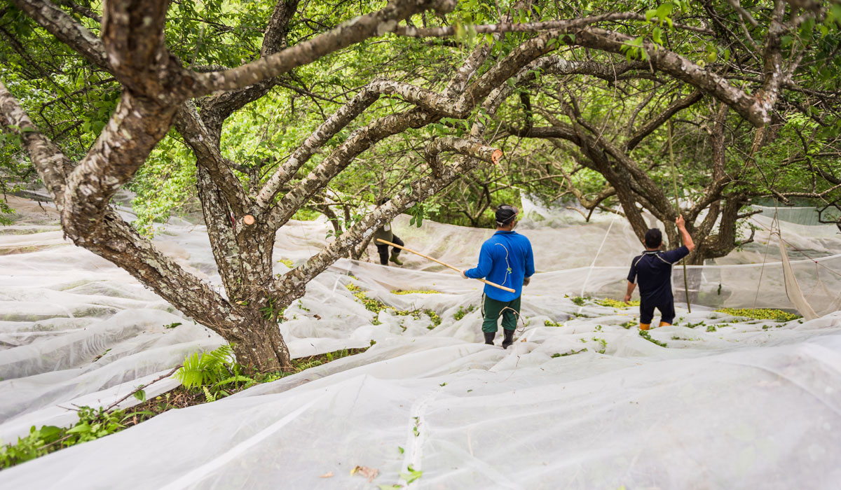 從青梅的採收開始,就是一段費心流汗的過程,經過一段狹小且顛簸的山路到達高海拔地區,以竹竿敲打梅枝