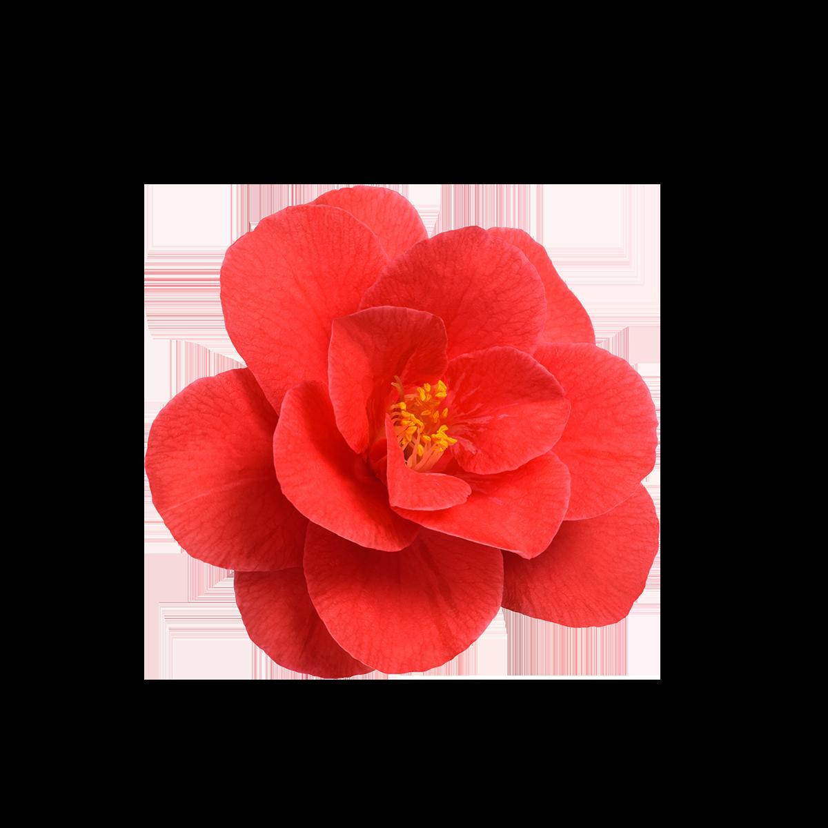 Camellia Oil-RARE SkinFuel