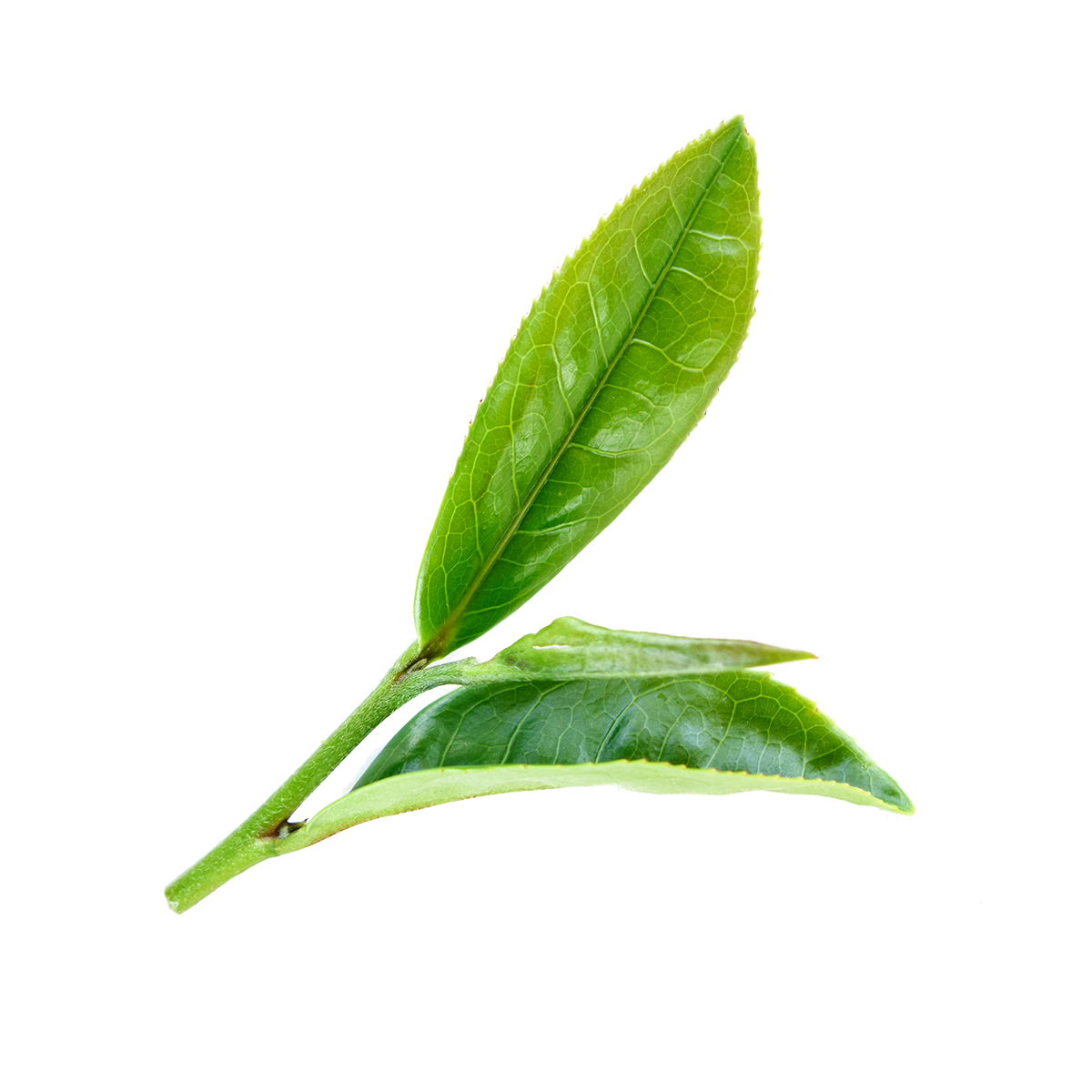 Tea Tree Leaf Powder-RARE SkinFuel