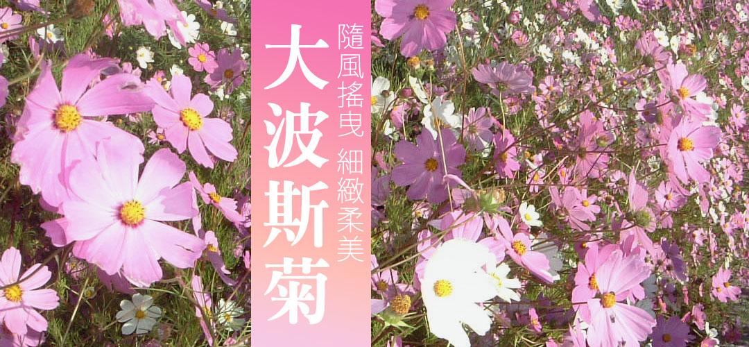 隨風搖曳的美麗、細緻柔美的大波斯菊 | iGarden花寶愛花園