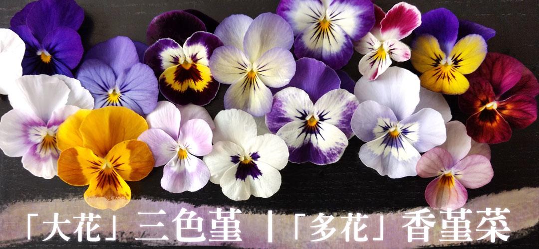 大花的三色堇、多花的香堇菜→好想一次同時擁有