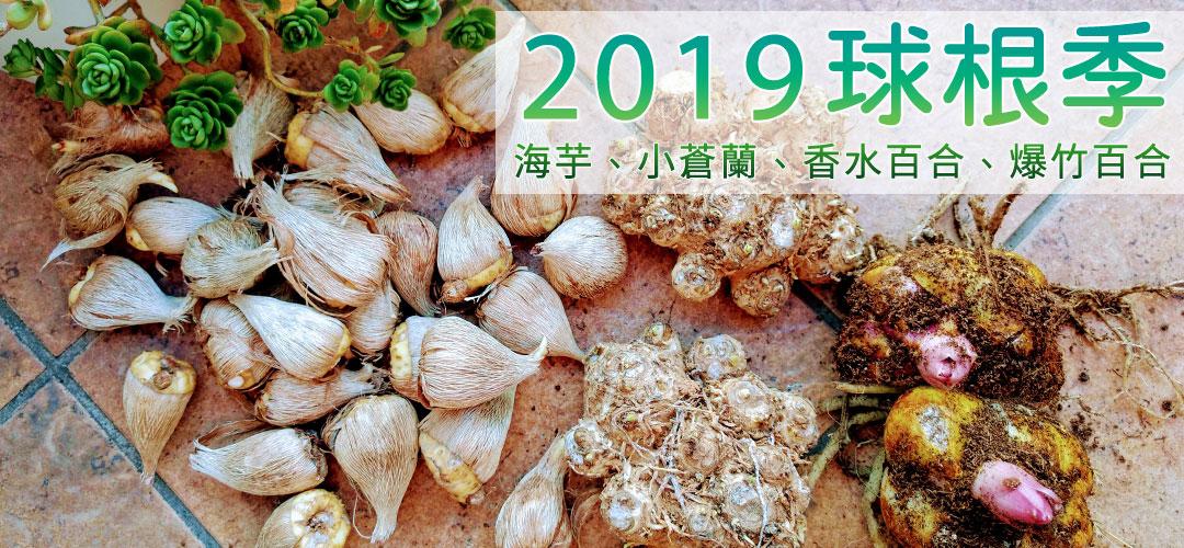 「2019球根季」彩色海芋、小蒼蘭、香水百合、爆竹百合