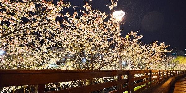 北台灣 賞櫻花 基隆 台北 新北 桃園 新竹