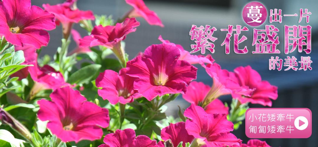 蔓出一片繁花盛開的美景「小花矮牽牛&匍匐矮牽牛」