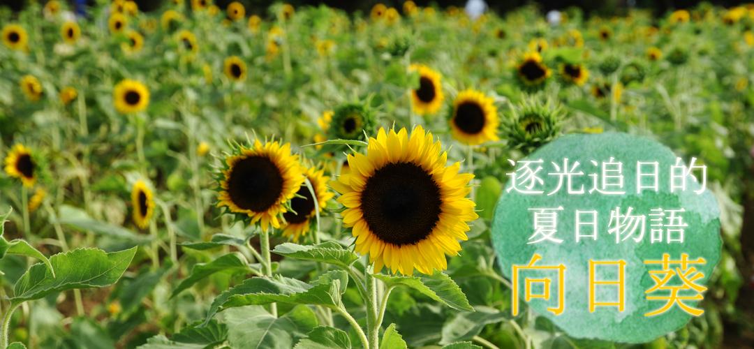 逐光追日的夏日物語「向日葵」