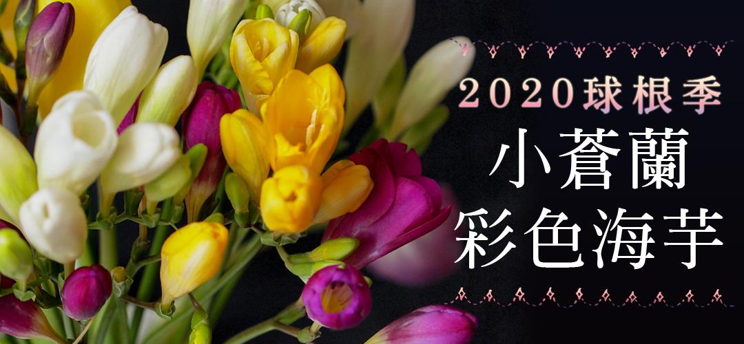 「2020球根季」小蒼蘭&彩色海芋